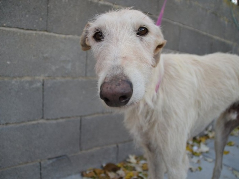 Atila, barbudo beige, 8 ans Scooby France Adopté  Dsc_0222