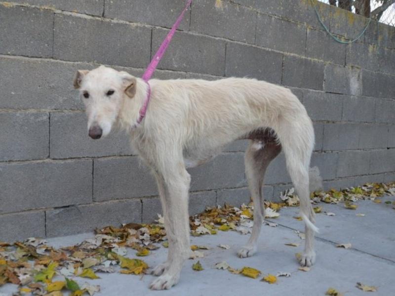 Atila, barbudo beige, 8 ans Scooby France Adopté  Dsc_0223