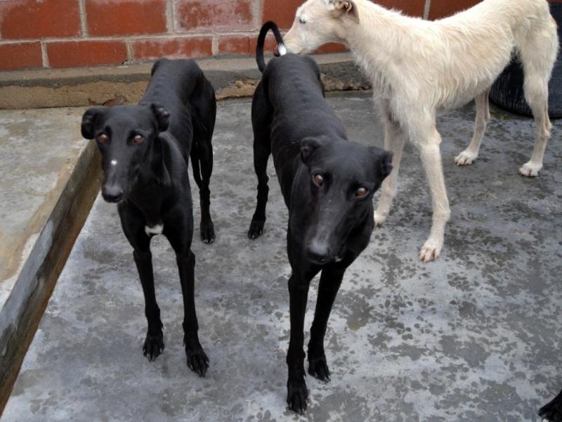 Tango, galgo noir 2 ans 1/2 - Adopté SCOOBY FRANCE Dsc_0468