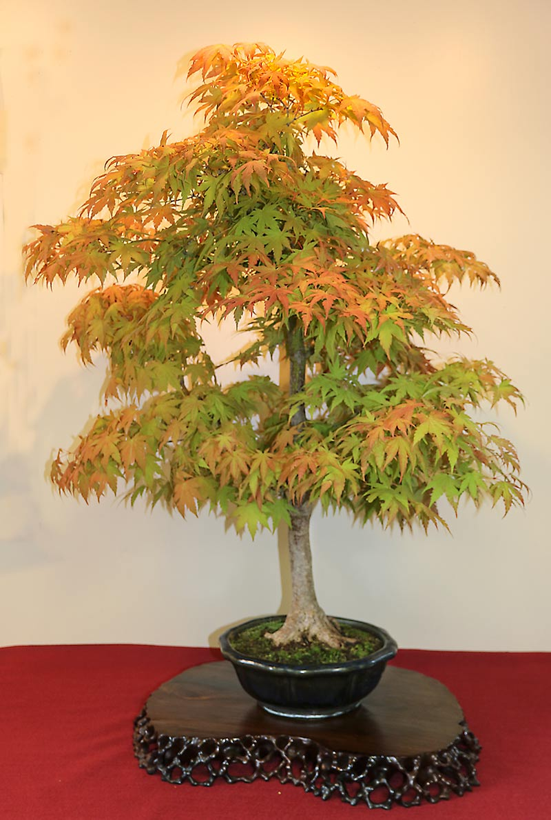 fall toko display Maple-11