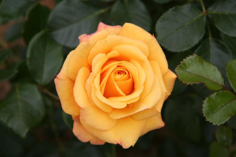 J'aspire à mériter la rose Rose_a10