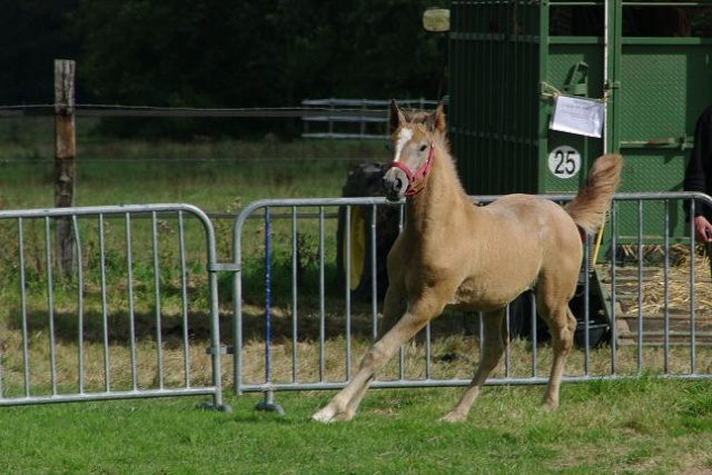Champion 2011 des étalons Boulonnais Imgp5312