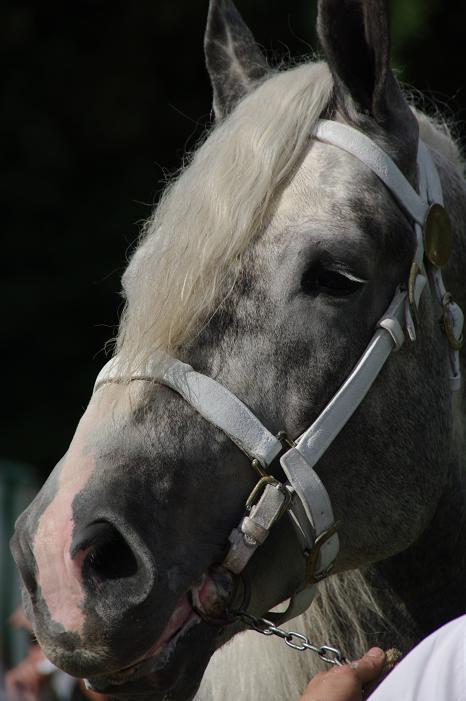 Champion 2011 des étalons Boulonnais Imgp5510