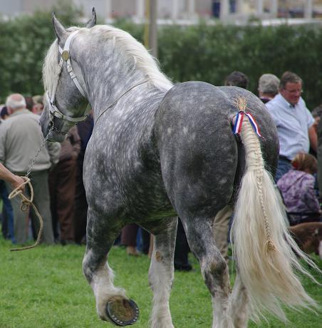 Champion 2011 des étalons Boulonnais Imgp5511