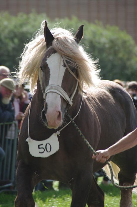 Champion 2011 des étalons Boulonnais Imgp5611