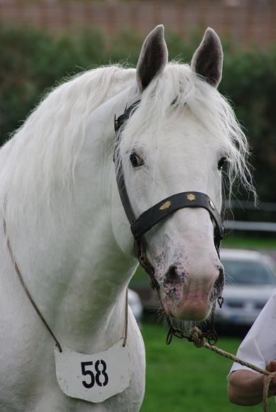 Champion 2011 des étalons Boulonnais Imgp5710