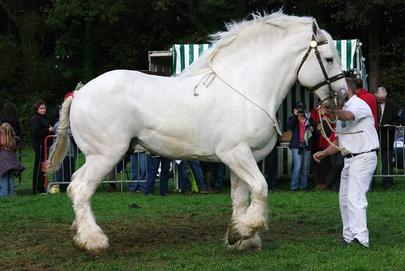 Champion 2011 des étalons Boulonnais Imgp5810