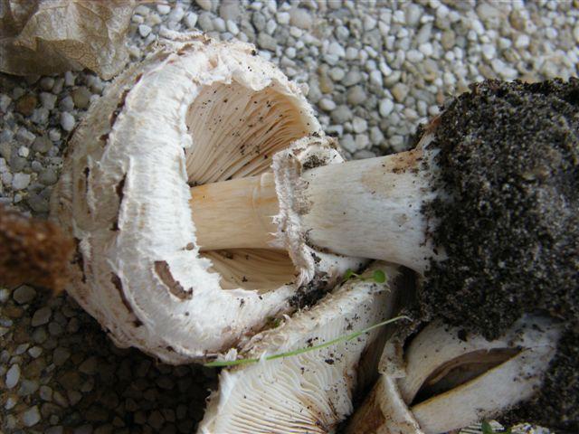 Une identifications pour ce champignon Octobr12