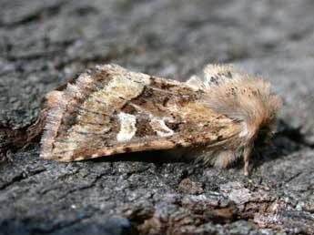 [résolu]Papillon, Luperina rubella. Dumeri10