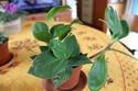 identification [Peperomia obtusifolia] 11988710
