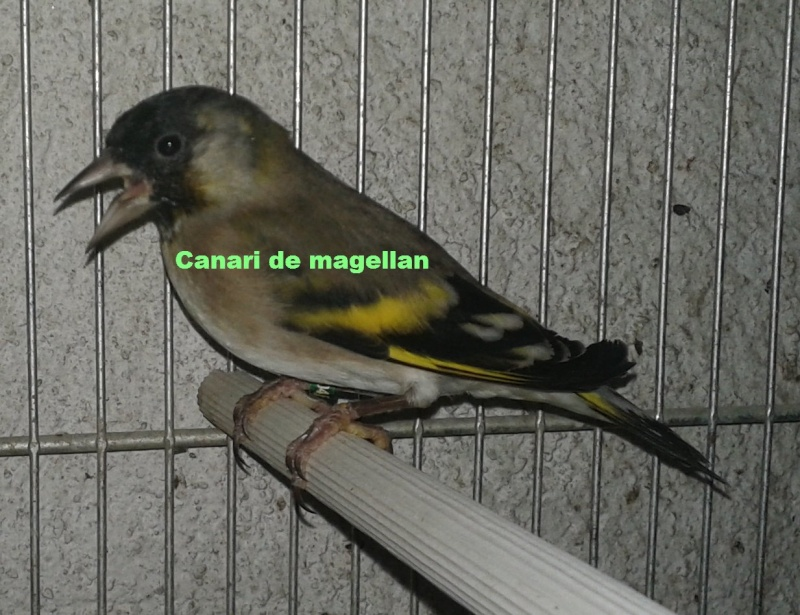 tarin de magellan x chardonneret parva  0110