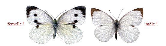 Samedi 12 septembre 2015, papillons amoureux Piyrid10