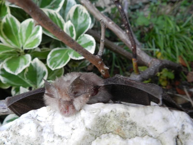 Jeudi 12 novembre 2015 une chauve-souris de perdue Vauvy100