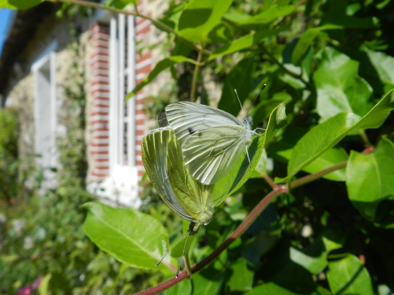 Samedi 12 septembre 2015, papillons amoureux Vauvyr29
