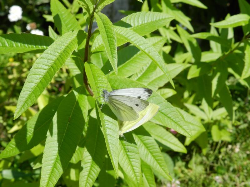 Samedi 12 septembre 2015, papillons amoureux Vauvyr30