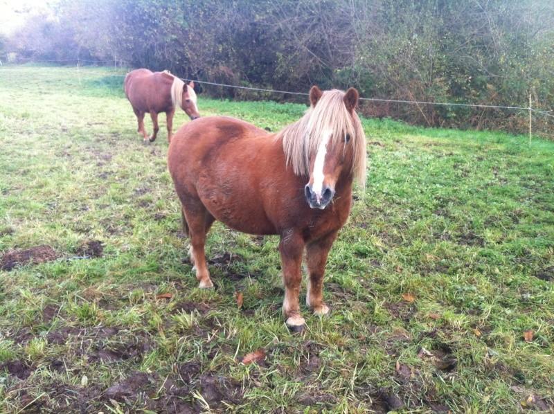 CARAMEL dit GUS - ONC poney né en 1991 - adopté en septembre 2013  Gus_310