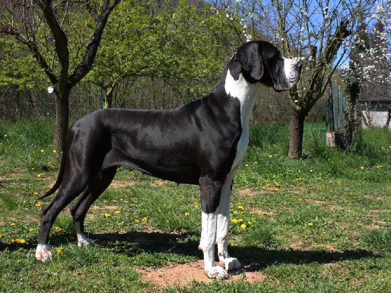 Des chiots dogue allemand au Paradis des Géants Chiens10