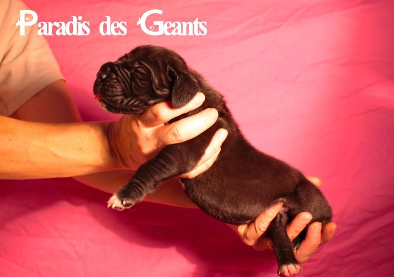 Des chiots dogue allemand au Paradis des Géants Img_0410