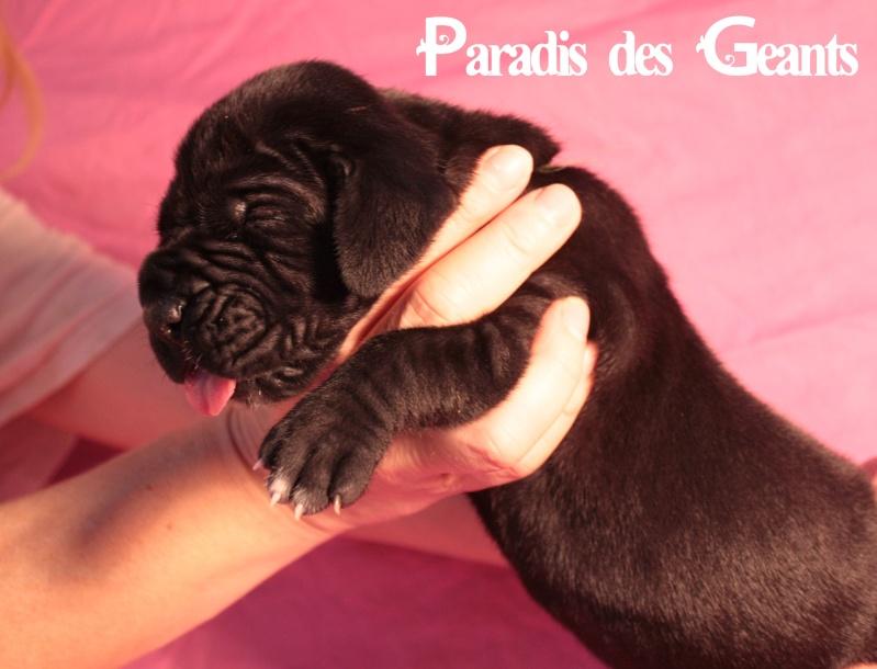Des chiots dogue allemand au Paradis des Géants Img_0610