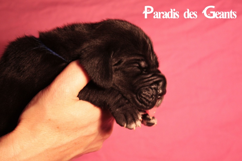 Des chiots dogue allemand au Paradis des Géants Img_0612