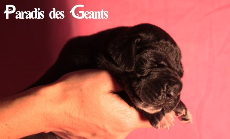 Des chiots dogue allemand au Paradis des Géants Img_0710