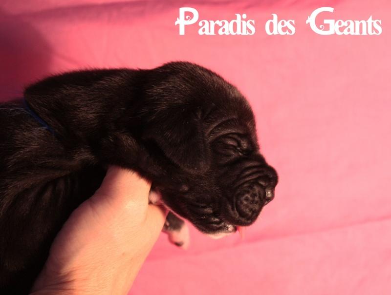 Des chiots dogue allemand au Paradis des Géants Img_0711