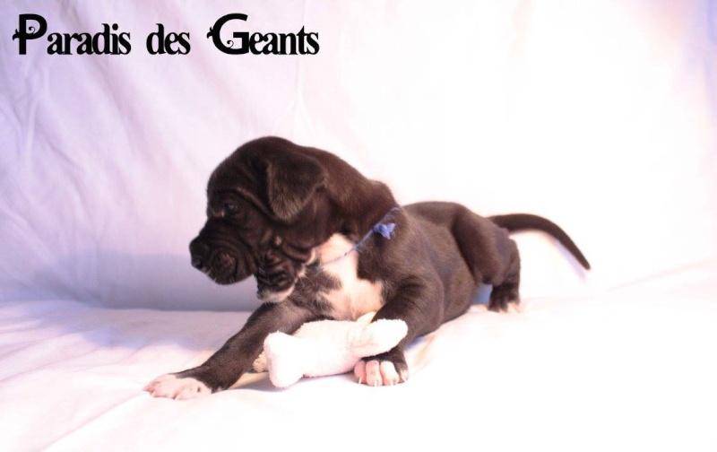 Des chiots dogue allemand au Paradis des Géants L_exta10