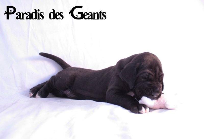 Des chiots dogue allemand au Paradis des Géants Ladisl10