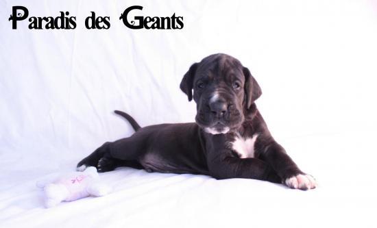 Des chiots dogue allemand au Paradis des Géants Le_rev10