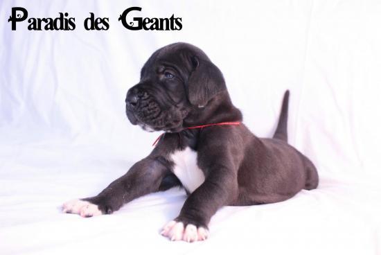 Des chiots dogue allemand au Paradis des Géants Lening10