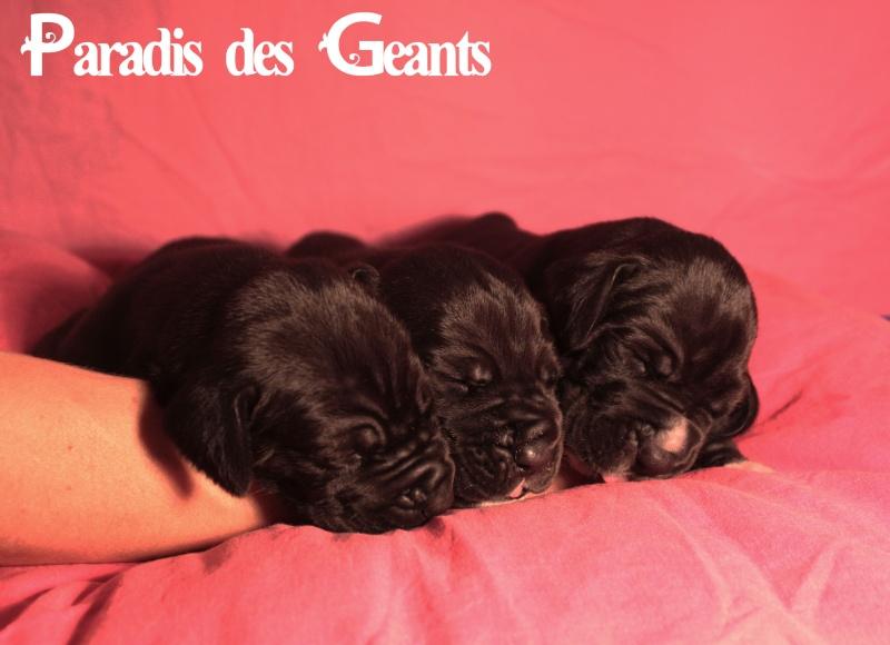 Des chiots dogue allemand au Paradis des Géants Lot-by11