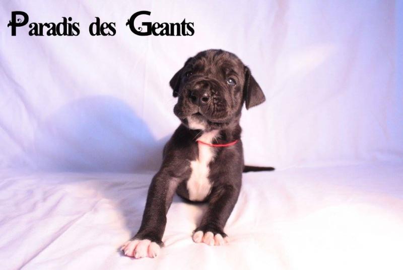 Des chiots dogue allemand au Paradis des Géants Lumiyr10
