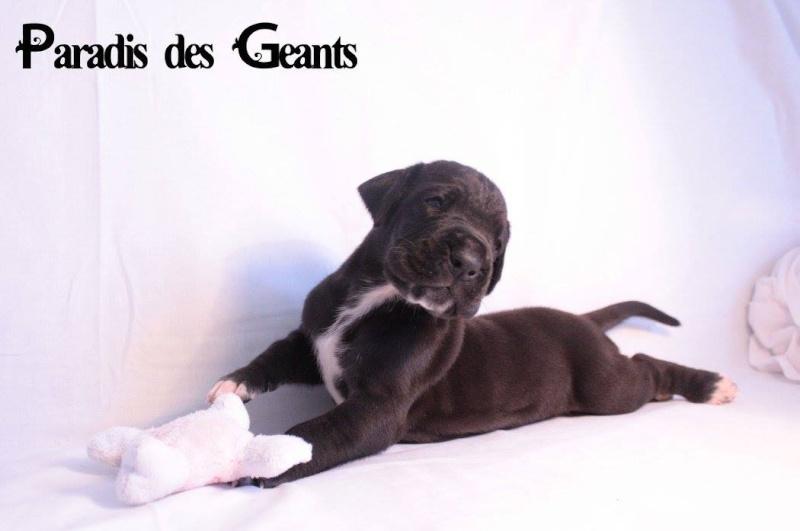 Des chiots dogue allemand au Paradis des Géants Lygend10