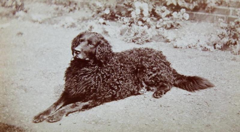 L'Histoire du Curly Coated Retriever en images... 10432410