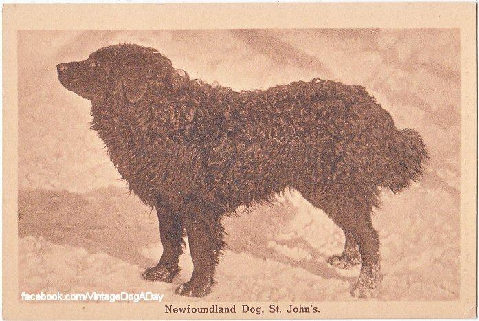 Chien de Terre-Neuve photographié à St John's en 1905... Johns10