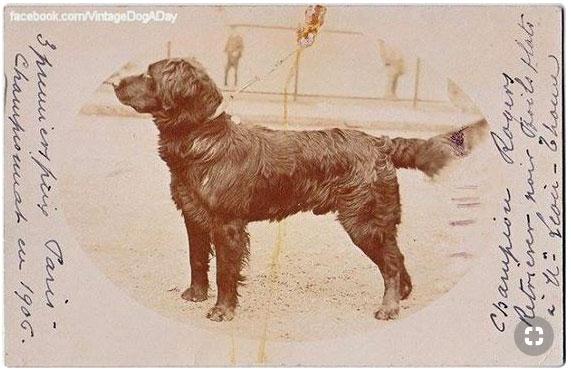 Rogers, mâle Retriever à M. Léon Thome, 1e prix à l'exposition de Paris en 1906... Rogers10