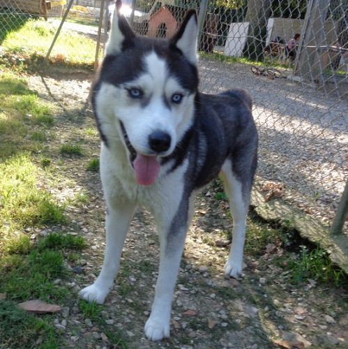 IRISH HUSKY MALE REFU89 500_9710
