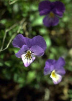 les totems - animaux, plantes et pierres-pouvoirs Violet10