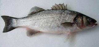 سمكة الكرفوش Dicent10