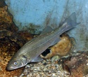 سمكة الكرفوش Dicent12