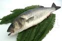 سمكة الكرفوش Lubina10