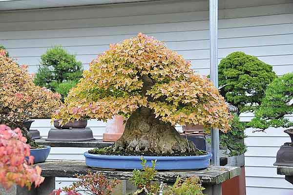 Maple Maple and Maple Dsc_4511