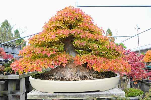 Maple Maple and Maple Dsc_4910