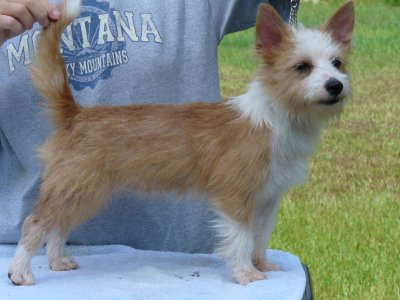 Pequeno Wire puppies arriving soon Abby-610