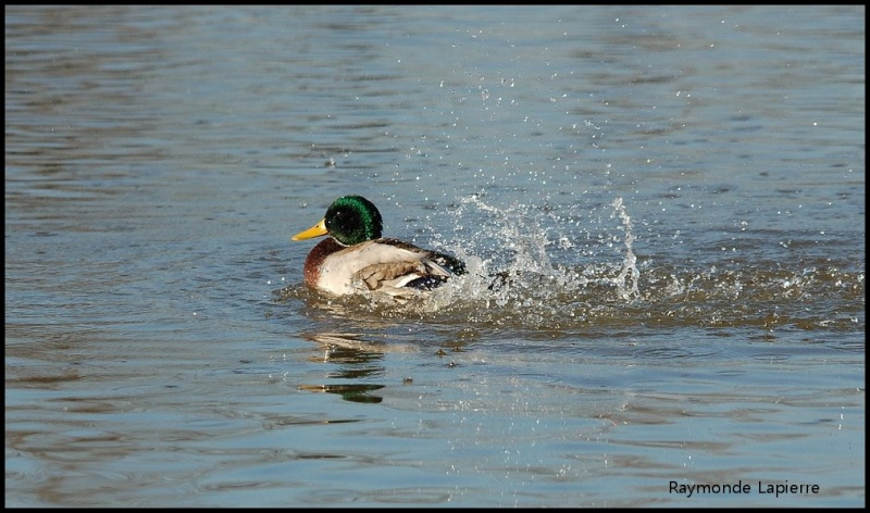 Canard colvert mâle Dsc_9310