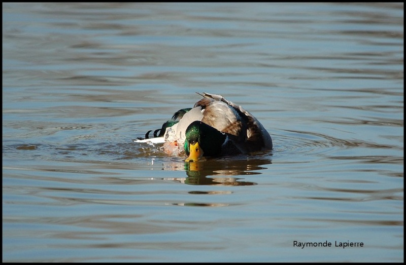 Canard colvert mâle Dsc_9311