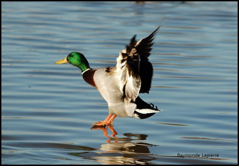 Canard colvert mâle Dsc_9316