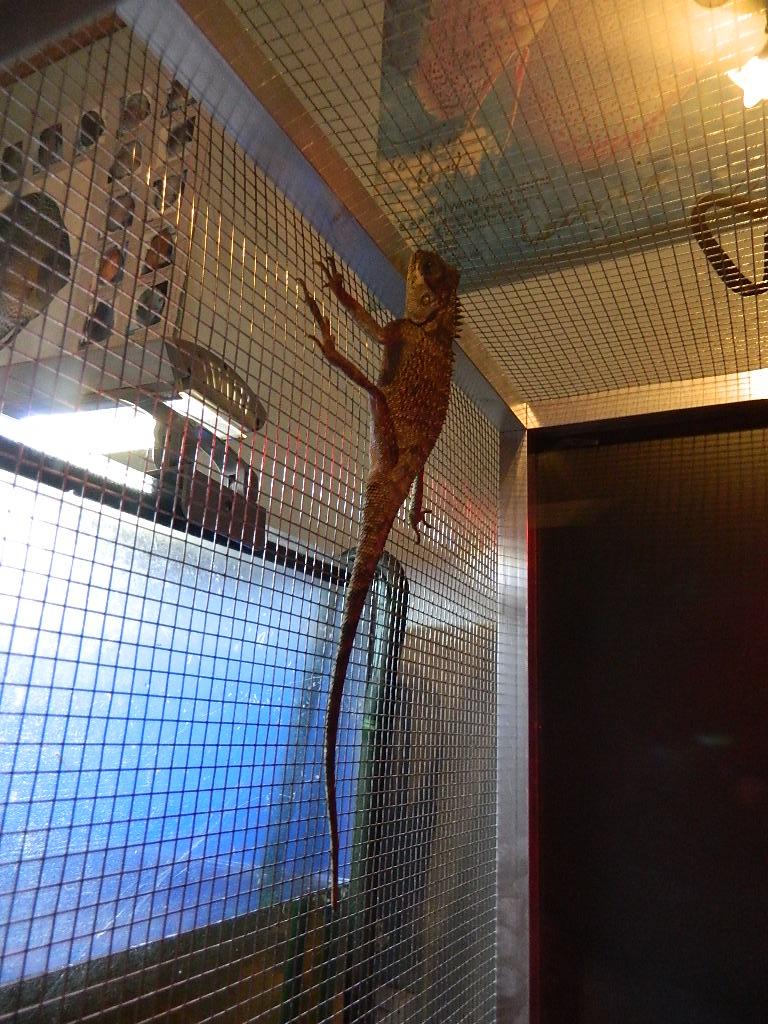 SpYro , Acanthosaura capra ( dragon des montagnes) [ à placer] Dscn2612