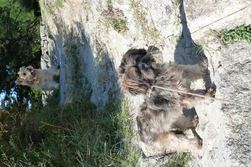 JANE femelle lhassa-apso de 1 an  -  Réservée  - P1060421