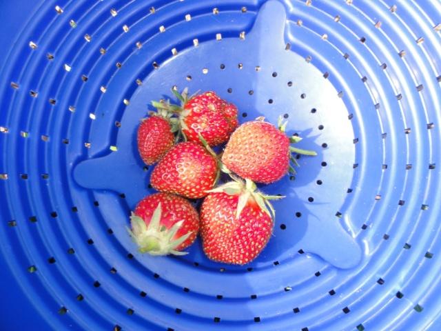 Premiéres  fraises  au  jardin. 1_ere_10